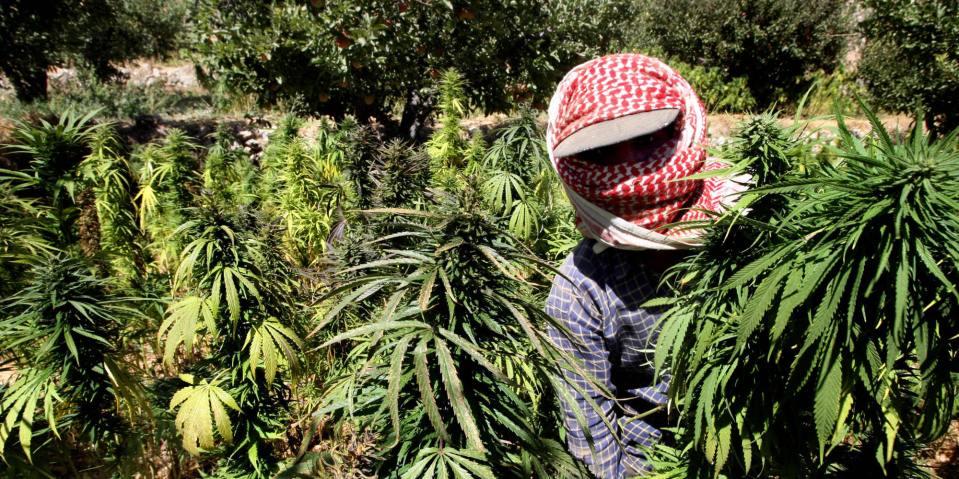 A Lebanese farmer harvests cannabis plan