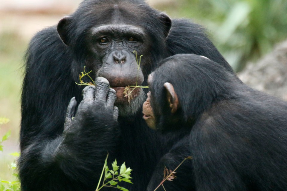 Chimps-babies.jpg