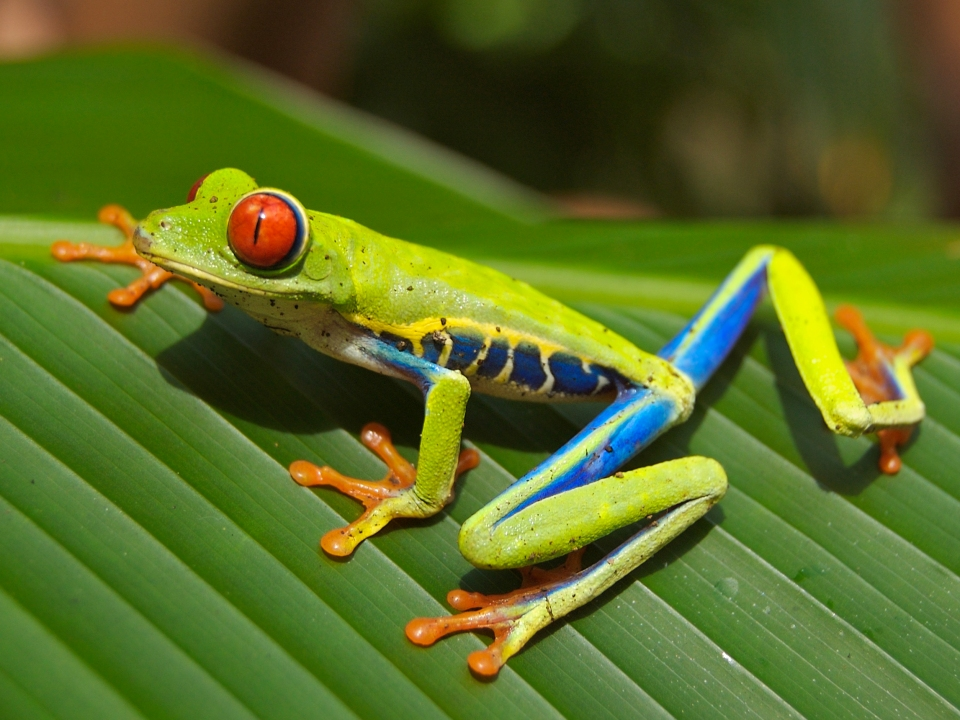 Red_eyed_tree_frog_.jpg